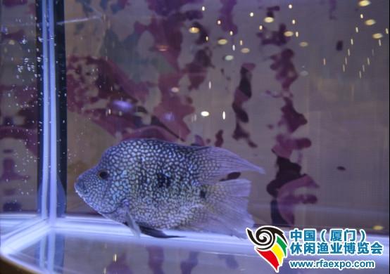 厦门休闲渔业展展会中还有来自台湾的展区,从台湾千里迢迢运送过来的鱼儿安静漂游在鱼缸中,在各色灯光下,它们的身体闪烁着幽静魅力的亮斑。