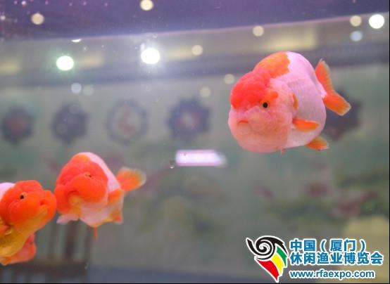 厦门休闲渔业展-顶着红色顶冠的金鱼
