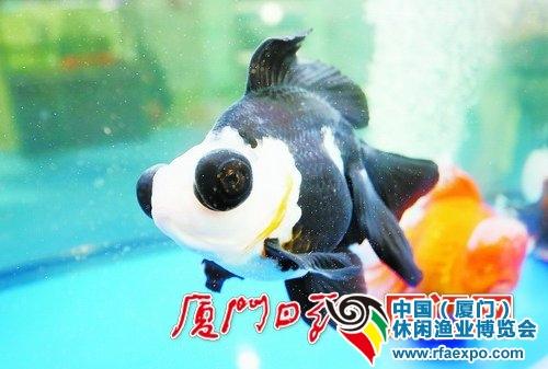 休闲渔业博览会汇聚了各种珍奇鱼类。图为熊猫蝶尾。