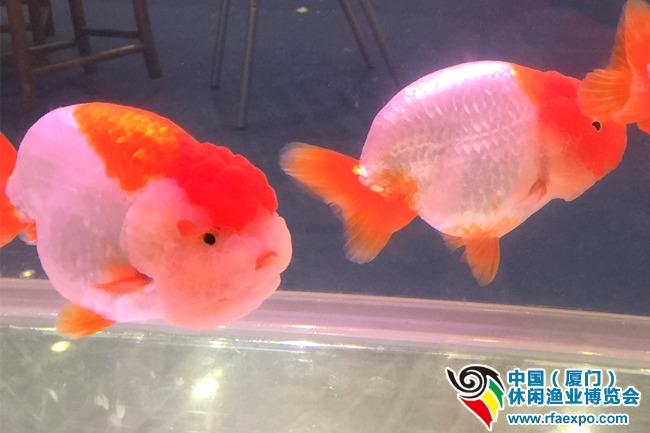 福州金鱼胖嘟嘟,萌萌哒-厦门休闲渔业展