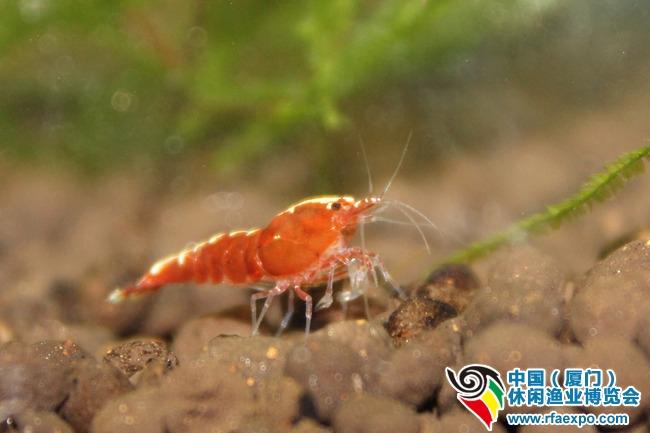 用微距才能捕捉的小虾宠儿——血腥玛丽