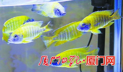 """来自台湾屏东的""""黄帝""""鱼。休闲渔业"""