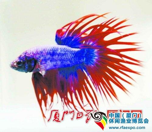 色彩艳丽、形态独特的金鱼-休闲渔业