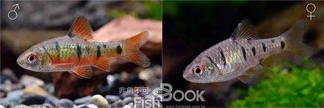 阿卡西短鲷_鲤科鱼类中的史尼氏小䰾( Puntius snyderi )性二形也相当明显